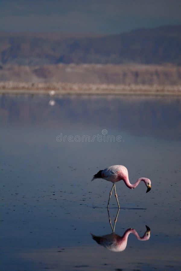 Flamingo andino na lagoa de Chaxa Reserva nacional dos flamencos do Los chile imagens de stock royalty free