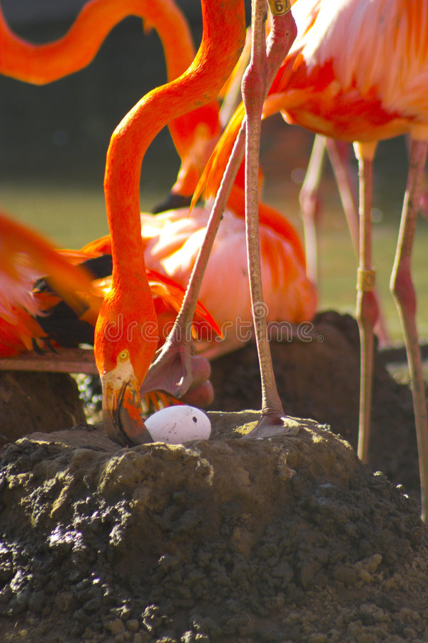 Flamingo auf dem Nest stockfotografie