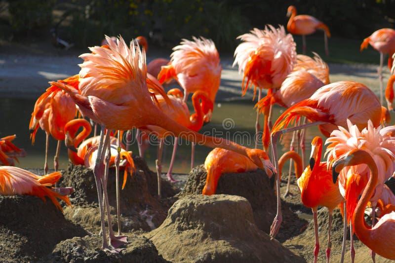 Flamingo auf dem Nest lizenzfreies stockbild