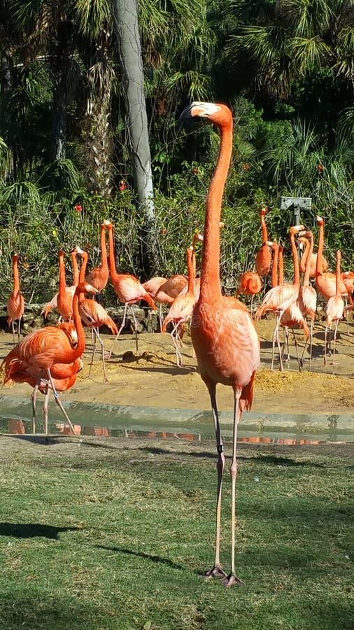 Flamingo aufrecht stockfotografie