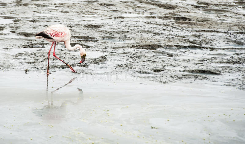 Flamingo, baía de Walvis, Namíbia, África fotografia de stock