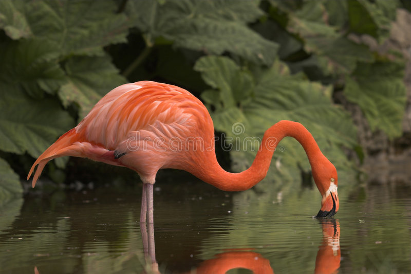 Flamingo bebendo fotografia de stock