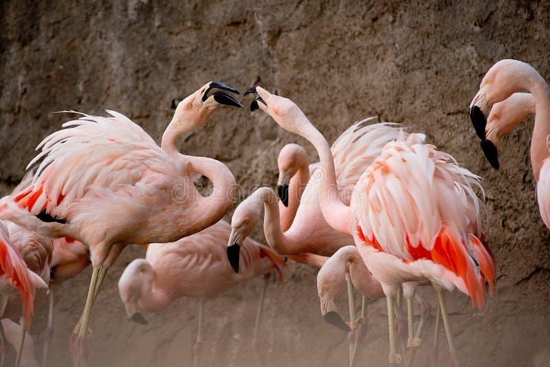 Flamingo bij de dierentuin royalty-vrije stock foto