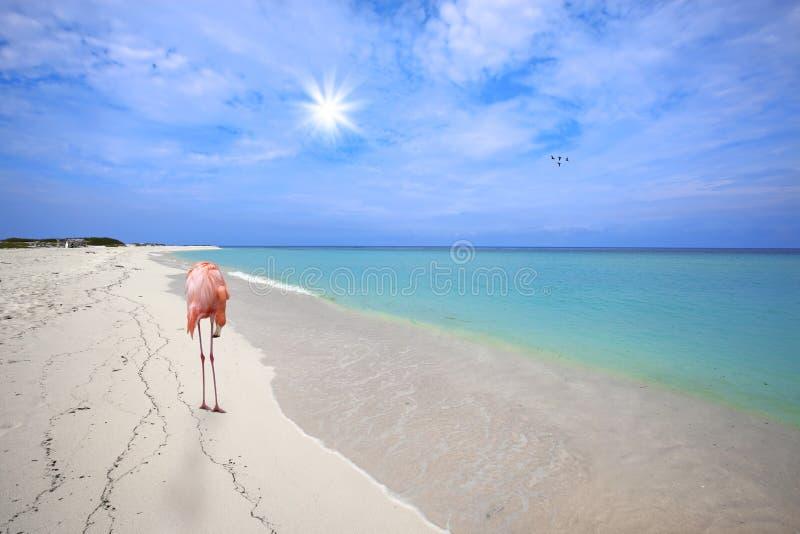 Flamingo bij het strand stock afbeelding