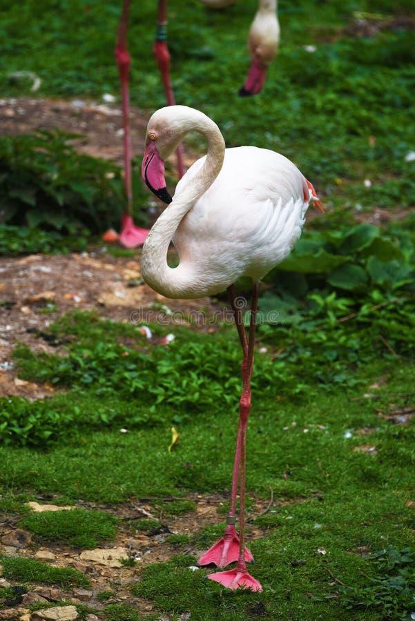 Flamingo bird on green grass. Flamingo pink bird on green grass stock photo