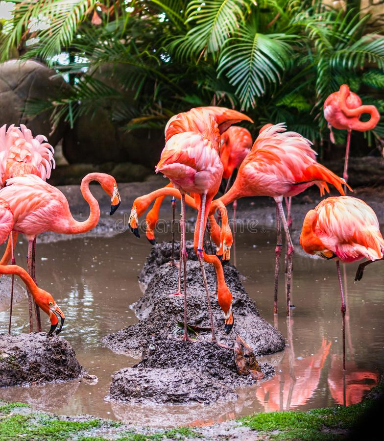 Flamingo birds on a small lake in Cartagena, Colombia royalty free stock photography