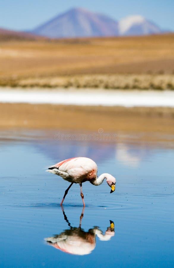Flamingo, BLANCA de Laguna, Bolívia foto de stock royalty free