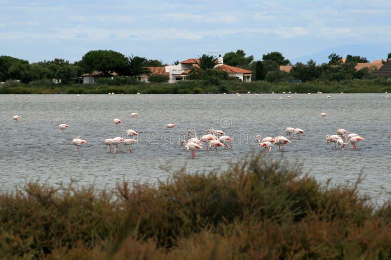 Flamingo in camargue stock foto's