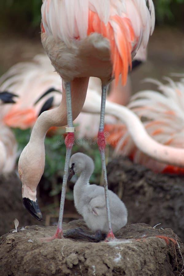 Flamingo and chick stock photo