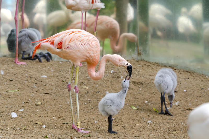 Flamingo chick. Chick flamingo in the park of Iguazu royalty free stock images
