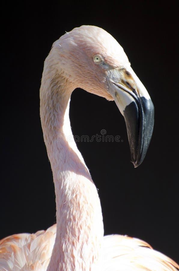 flamingo chilean zdjęcia stock