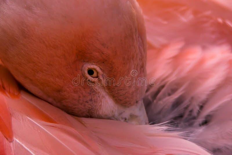 Flamingo chileno fotografia de stock royalty free
