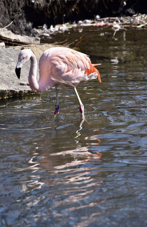 Flamingo chileno foto de stock