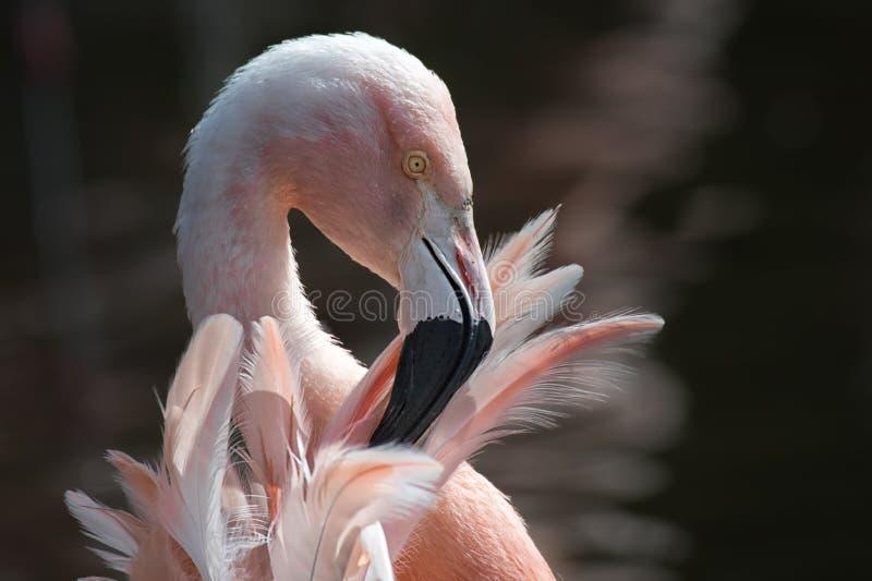 Flamingo chileno imagem de stock