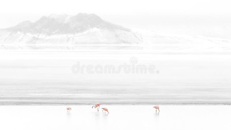 Flamingo chileno, Phoenicopterus Chilensis, Salt Lake Surire, o Chile Ámérica do Sul fotos de stock royalty free