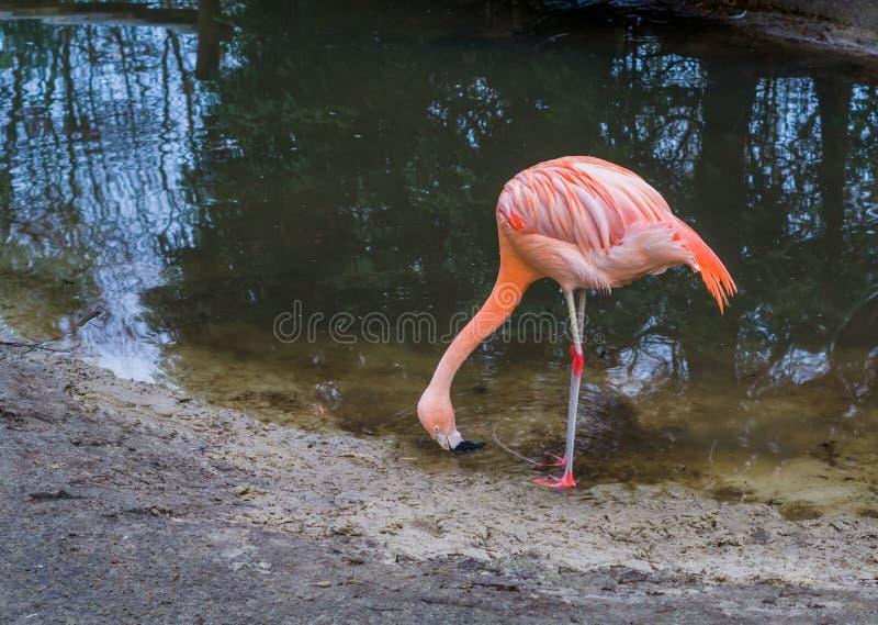 Flamingo chileno sedento que bebe alguma água fora do lago, retrato de um pássaro tropical ameaçado próximo de América fotografia de stock royalty free