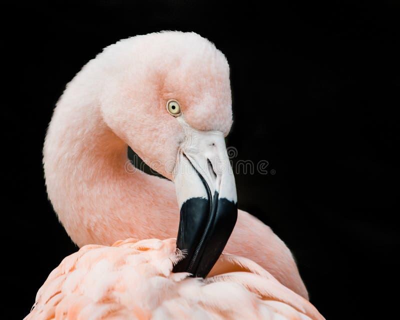 Flamingo chileno V foto de stock