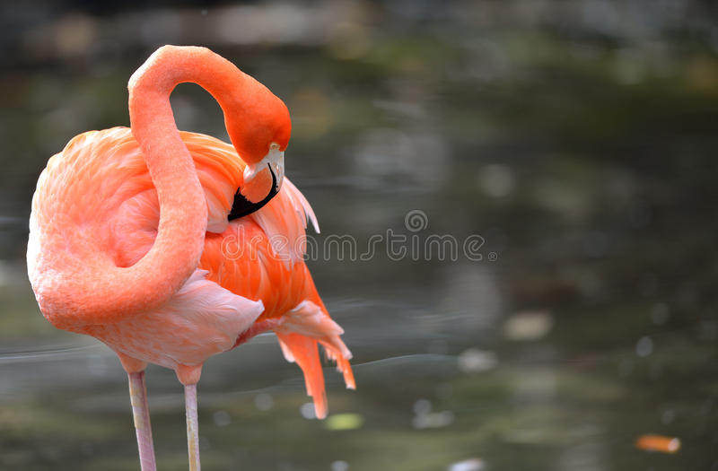 Download Flamingo Cleaning Itself Stock Photography - Image: 37725762