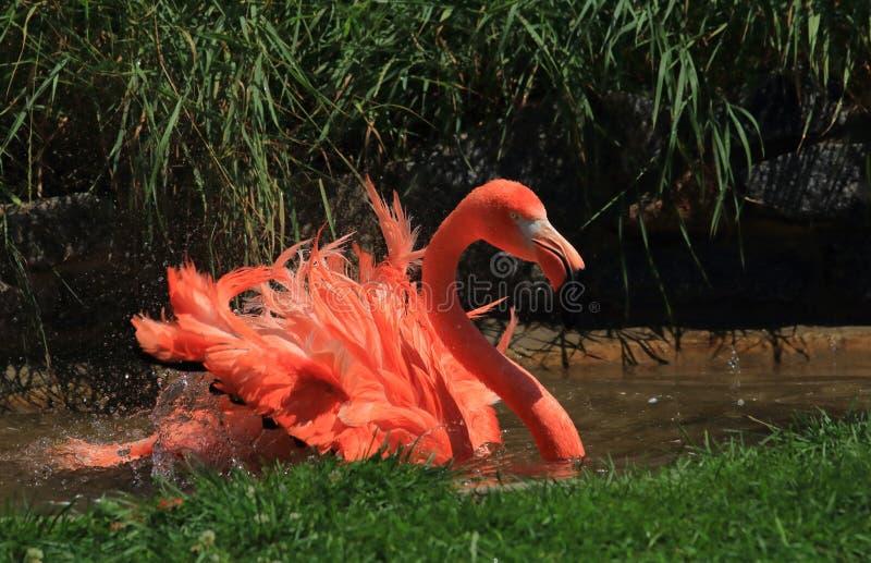 Flamingo colorido brilhante em Wisconsin foto de stock royalty free
