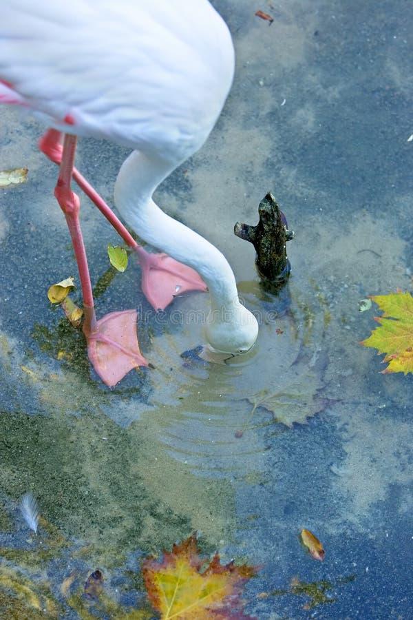 Flamingo com sua cabeça na água que procura o alimento fotos de stock royalty free