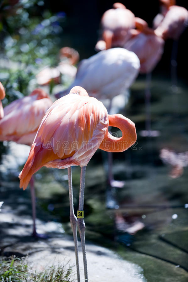 Flamingo cor-de-rosa na luz solar imagem de stock royalty free
