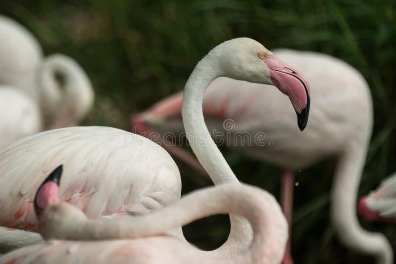 Flamingo cor-de-rosa no jardim zoológico, phoenicopterus de solo do flamingo preparando suas penas, pássaro róseo branco bonito p fotos de stock