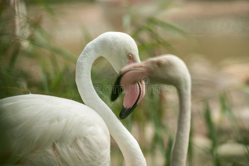 Flamingo cor-de-rosa no jardim zoológico, phoenicopterus de solo do retrato do flamingo, pássaro róseo branco bonito perto da lag foto de stock royalty free