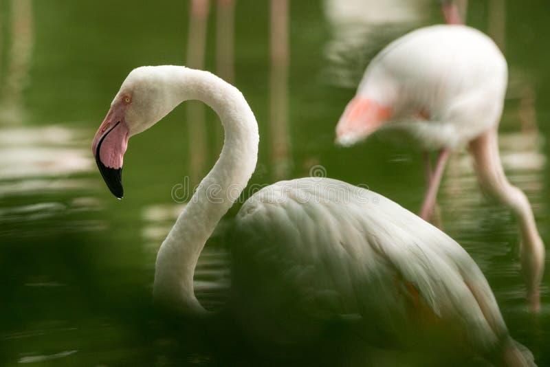 Flamingo cor-de-rosa no jardim zoológico, phoenicopterus de solo do retrato do flamingo, pássaro róseo branco bonito perto da lag imagens de stock