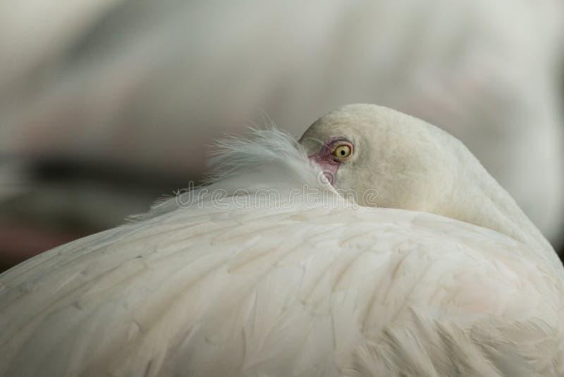 Flamingo cor-de-rosa no jardim zoológico, phoenicopterus de solo do retrato do flamingo, pássaro róseo branco bonito perto da lag fotos de stock royalty free
