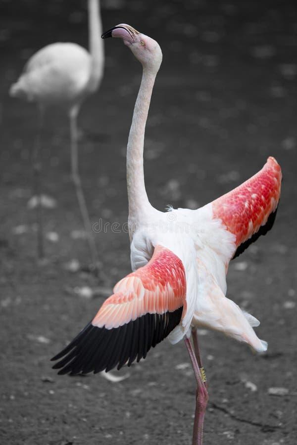 Flamingo cor-de-rosa orgulhoso que está alto imagem de stock