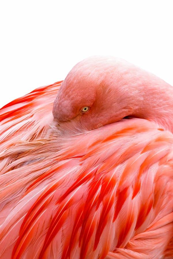 Flamingo cor-de-rosa - penas imagens de stock royalty free