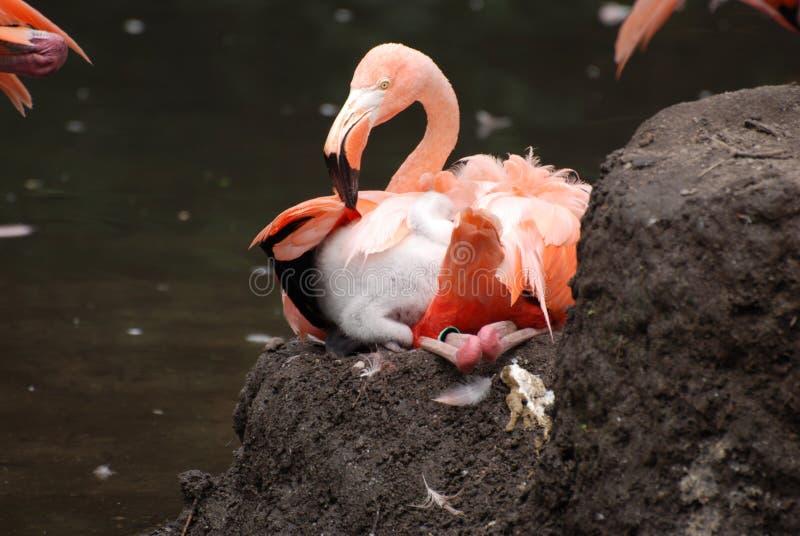 Flamingo cor-de-rosa que senta-se em um ninho fotografia de stock