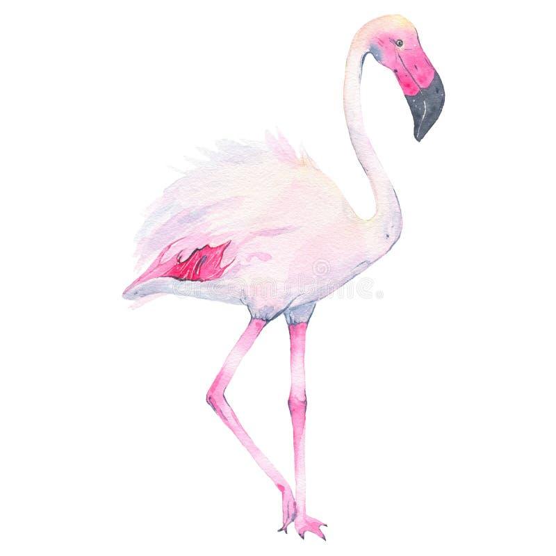 Flamingo cor-de-rosa tropical pintado à mão da aquarela isolado no fundo branco ilustração stock