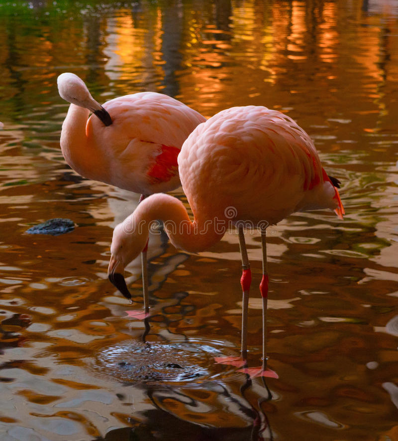 Flamingo Crane with Water Dripping from Beak. Sunset turns the water to gold as two cranes preen and drink from the shallow pond stock photo