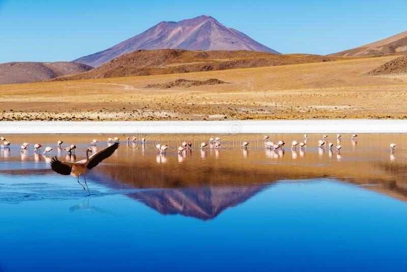 Flamingo da aterrissagem de Laguna Bolívia fotos de stock royalty free