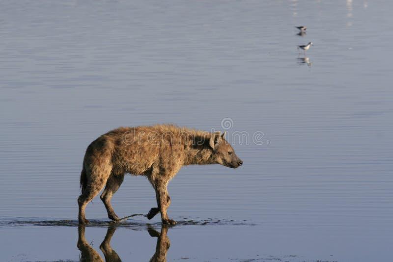 Flamingo da caça da hiena manchada no safari em Kenya Nascer do sol no lago Nakuru foto de stock