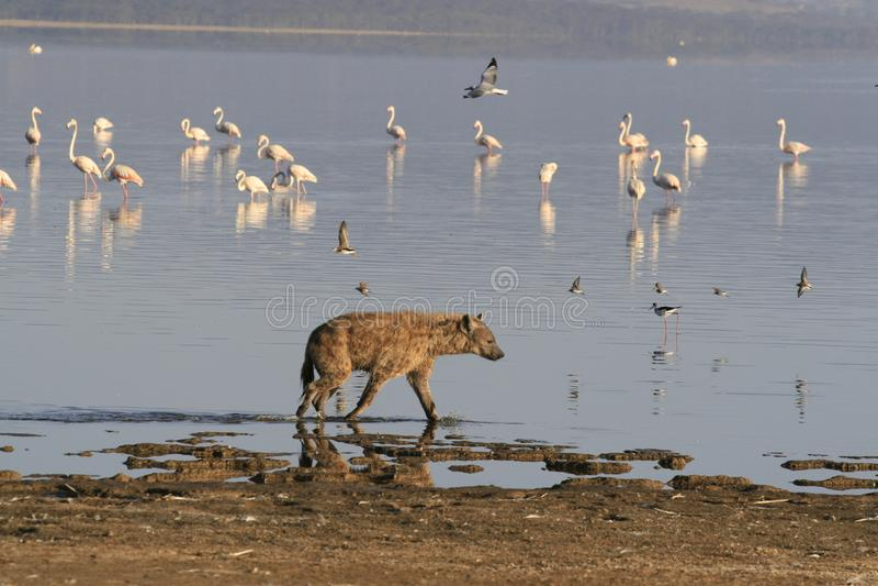 Flamingo da ca?a da hiena manchada no safari em Kenya Nascer do sol no lago Nakuru fotografia de stock
