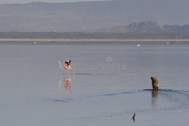 Flamingo da ca?a da hiena manchada no safari em Kenya Nascer do sol no lago Nakuru imagem de stock royalty free