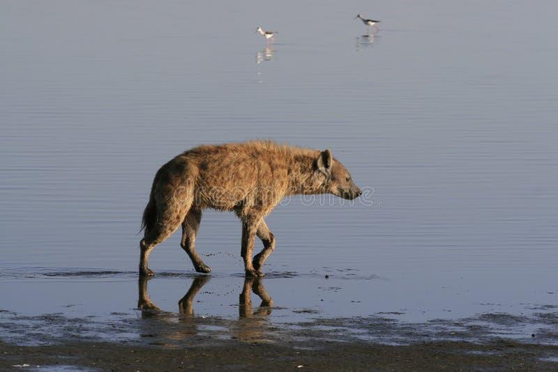 Flamingo da ca?a da hiena manchada no safari em Kenya Nascer do sol no lago Nakuru imagens de stock royalty free