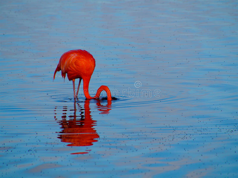 Flamingo das caraíbas que alimenta no Gotomeer, Bonaire, Dutch Antilhas imagens de stock royalty free