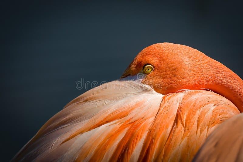 Flamingo de descanso imagem de stock royalty free