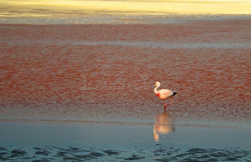 Flamingo de James que anda em Laguna Colorada, lago de sal ensanguentado da cor no platô do altiplano, Bolívia imagem de stock royalty free