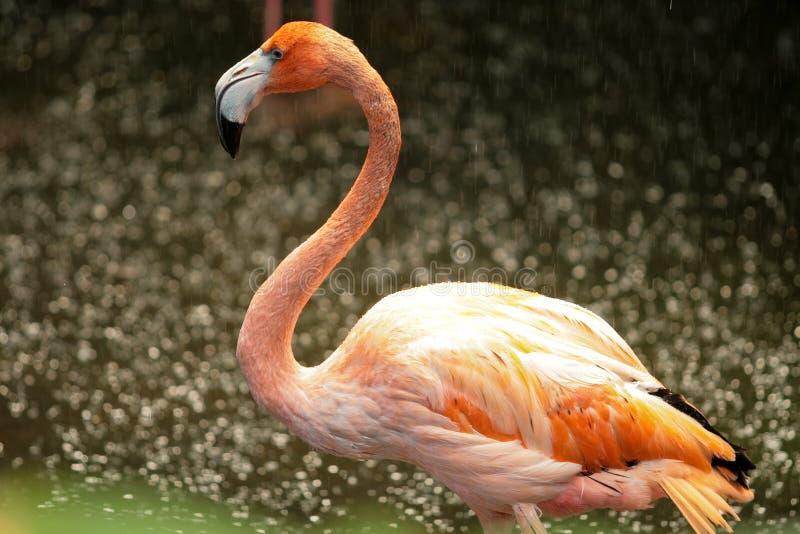 Flamingo in de regen stock foto's