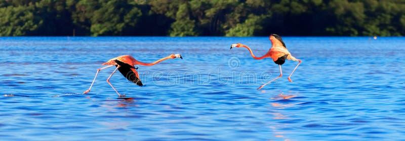 Flamingo in den wild lebenden Tieren von Südamerika Leidenschaftlicher Tanz von rosa Vögeln Nationalpark Celestun mexiko Fahnende lizenzfreie stockfotos