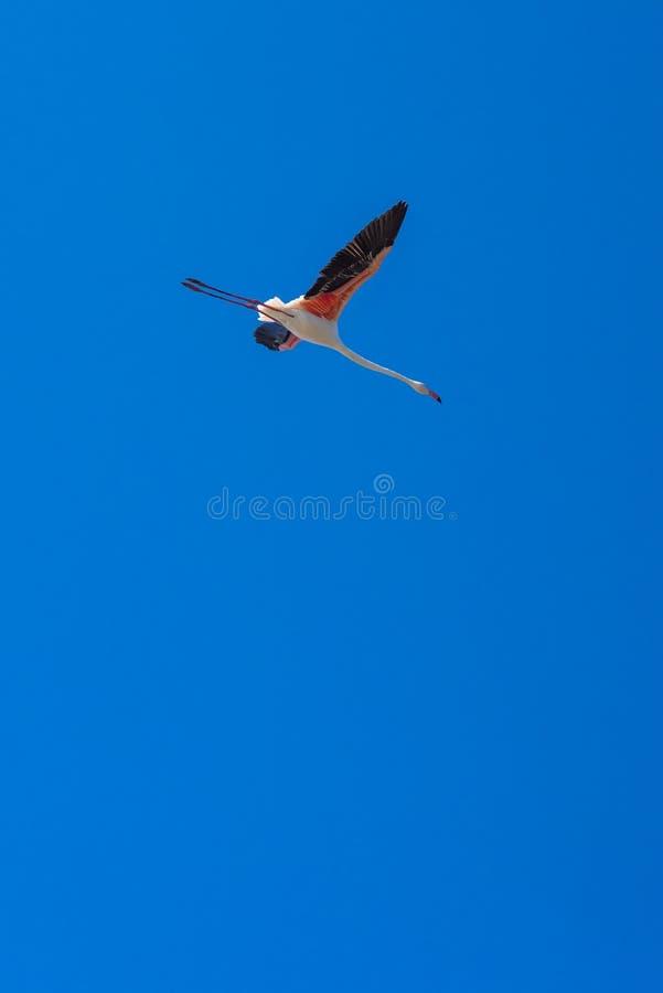 Flamingo descendiendo en cielo azul claro fotos de archivo libres de regalías