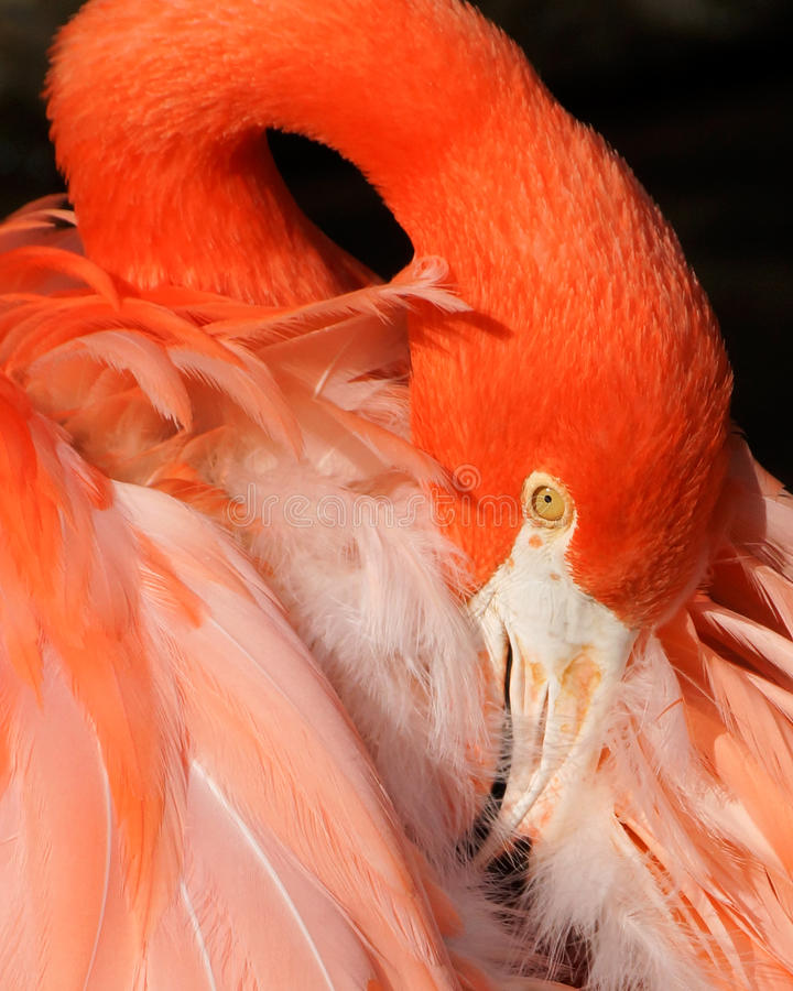 Flamingo Detail Royalty Free Stock Photography