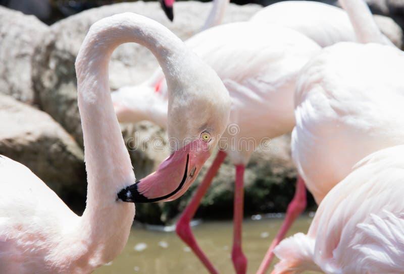 Flamingo in dierentuin royalty-vrije stock afbeeldingen
