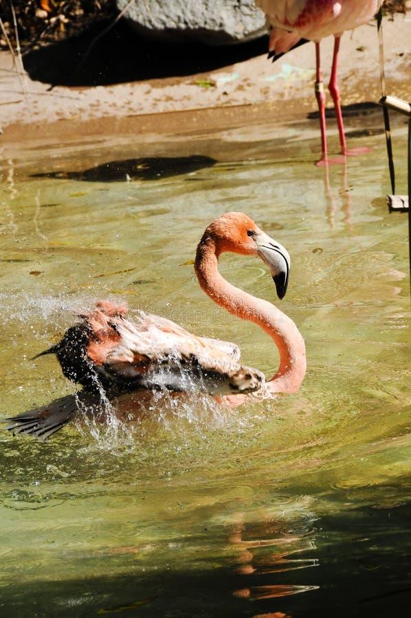 Flamingo do Cararibe foto de stock royalty free