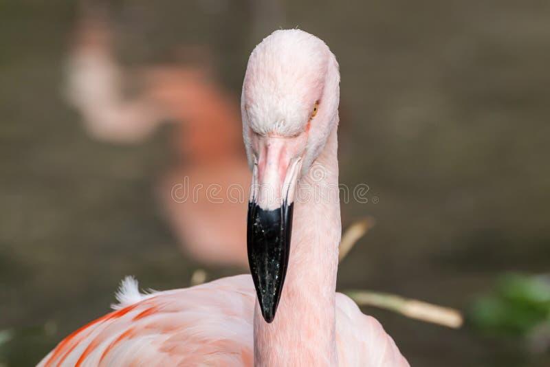 Flamingo do chileno do retrato do perfil fotografia de stock