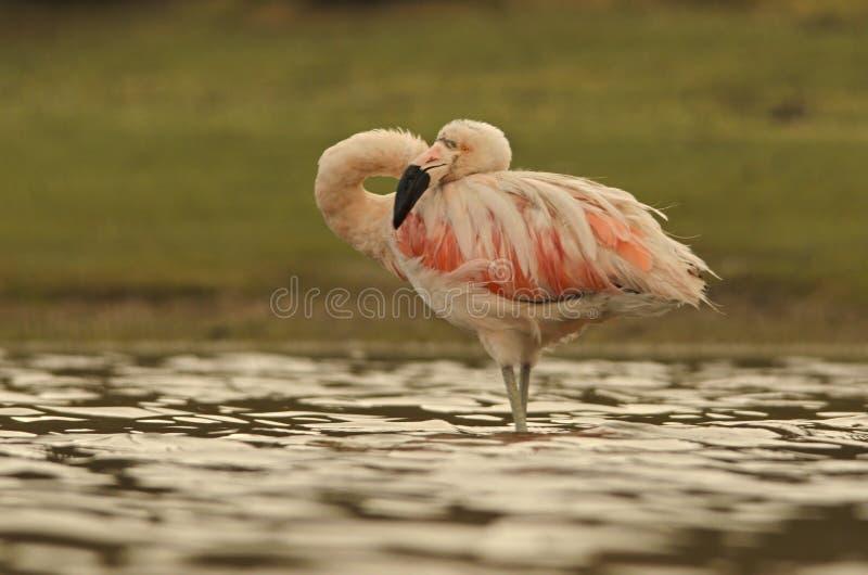 Flamingo do contorcionista imagem de stock